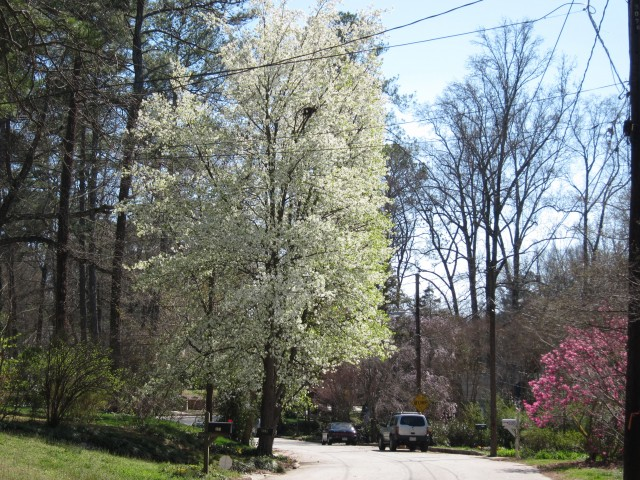 Street lined with flowering trees