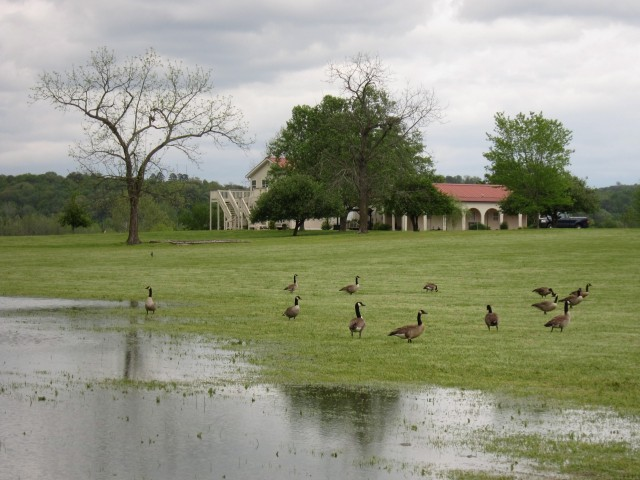 Geese at the wedding
