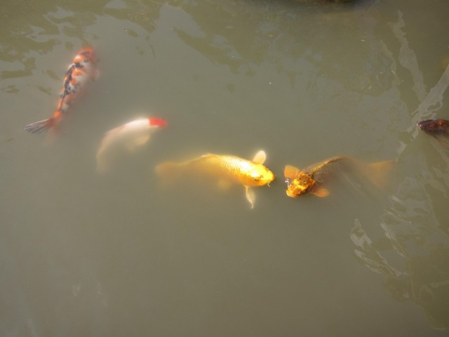Golden koi in Japanese garden