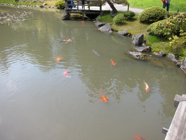 Koi in Japanese garden