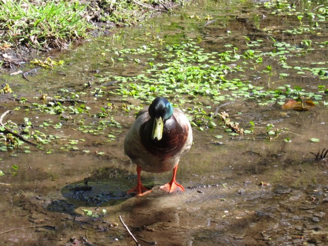 Mallard in Arboretum