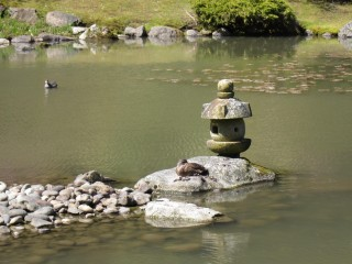 sleeping duck in Japanese garden