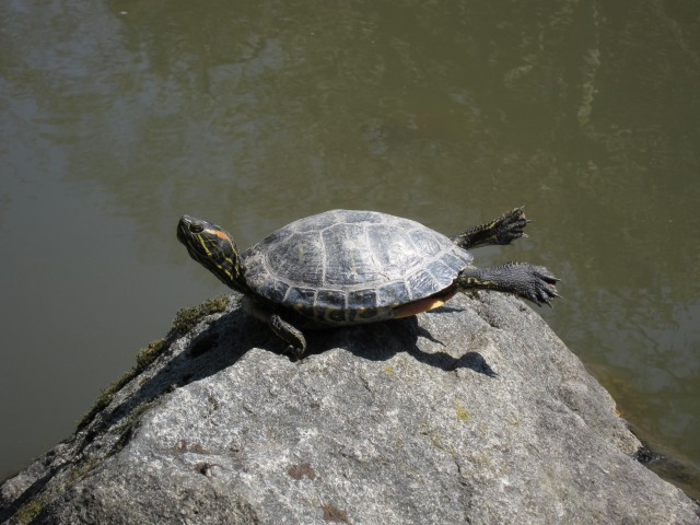 Yoga turtle Seattle Japanese garden